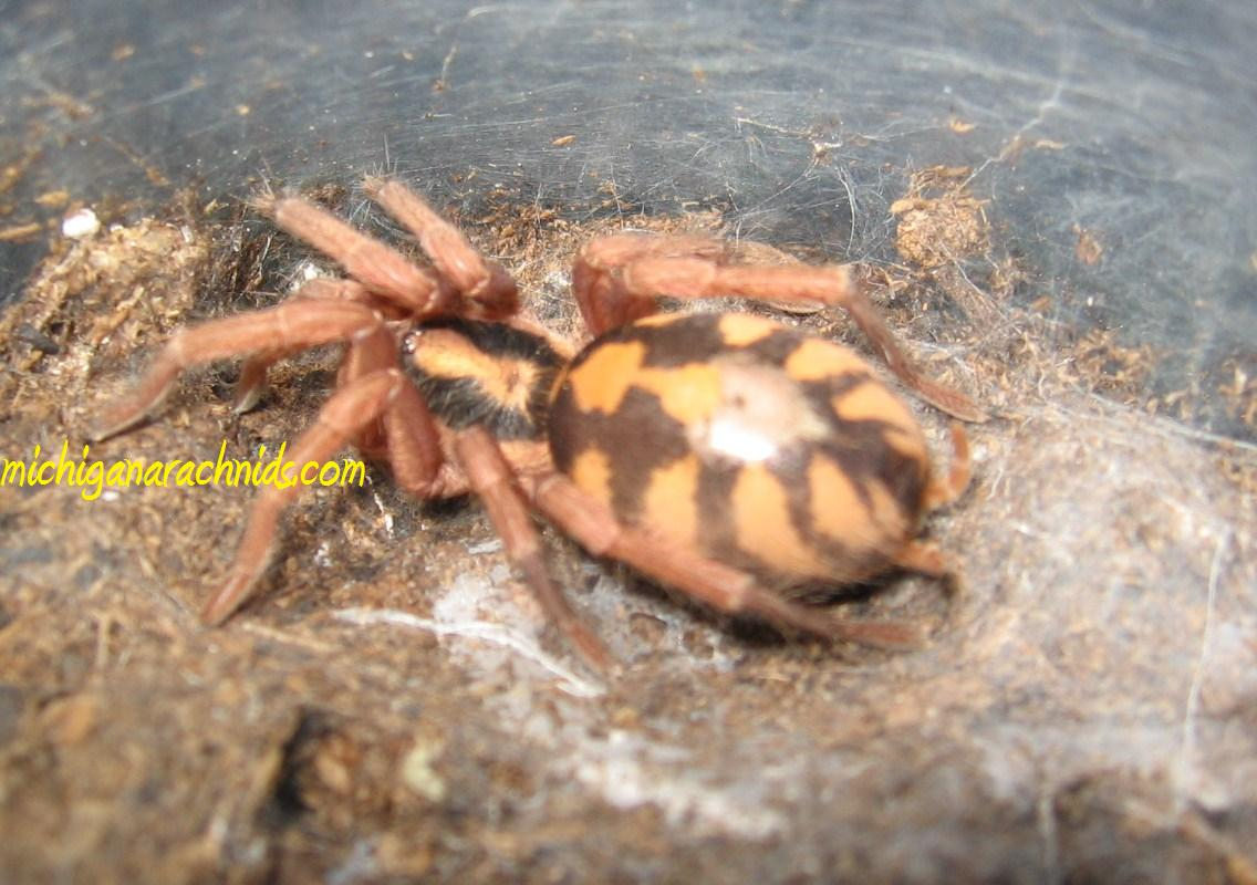 "Hapalopus sp. ""Columbia - Pumpkin Patch"""